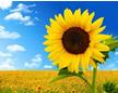 Sunflower886